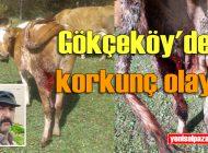 Gökçeköy'de ayılar dana ve ineklere saldırdı